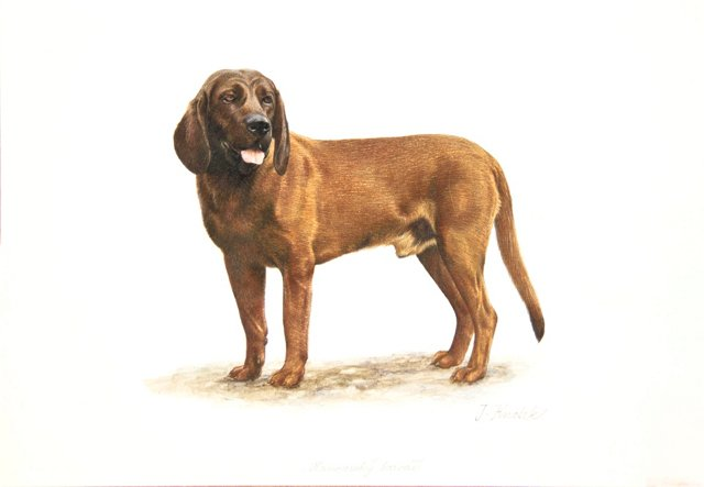 Watercolor & Drawing of a Hanover Hound