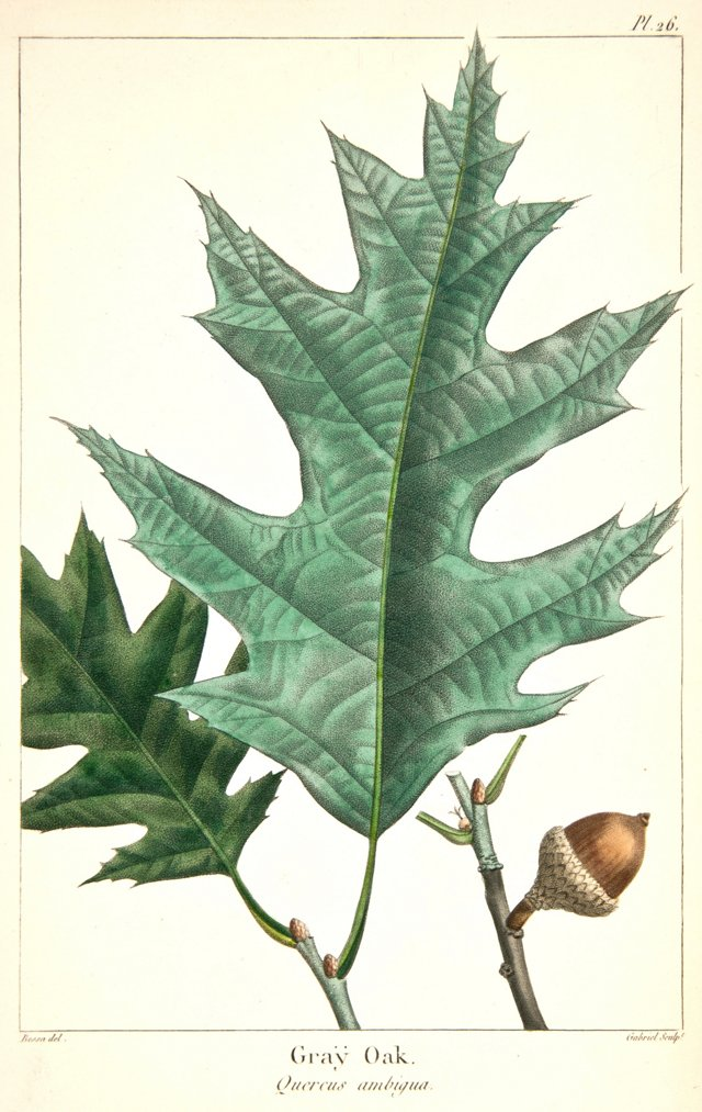 Hand-Colored Gray Oak, 1819