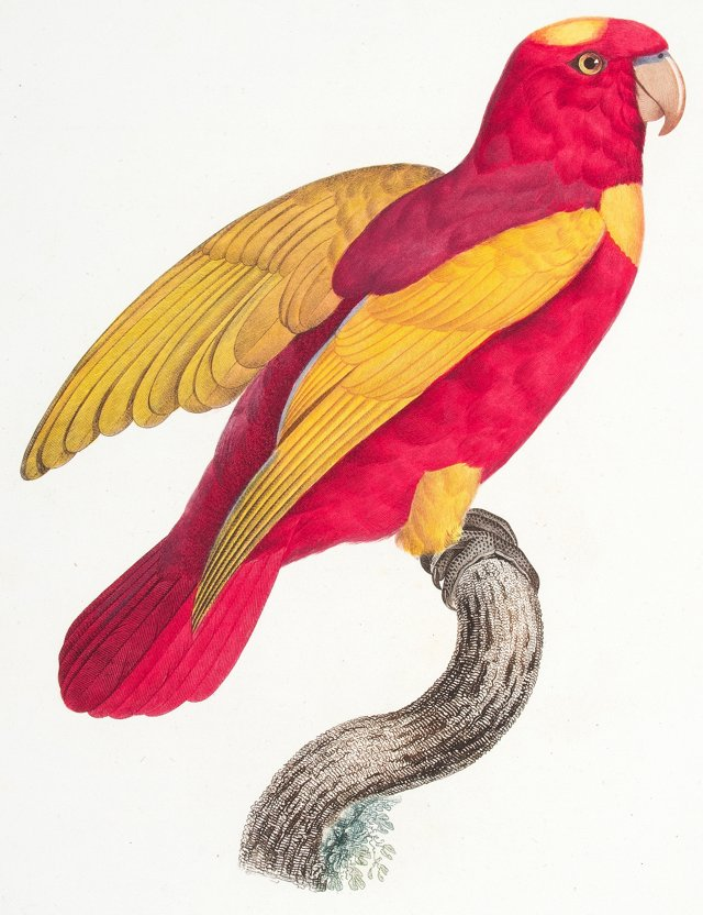 Chattering Lory Engraving, 1801