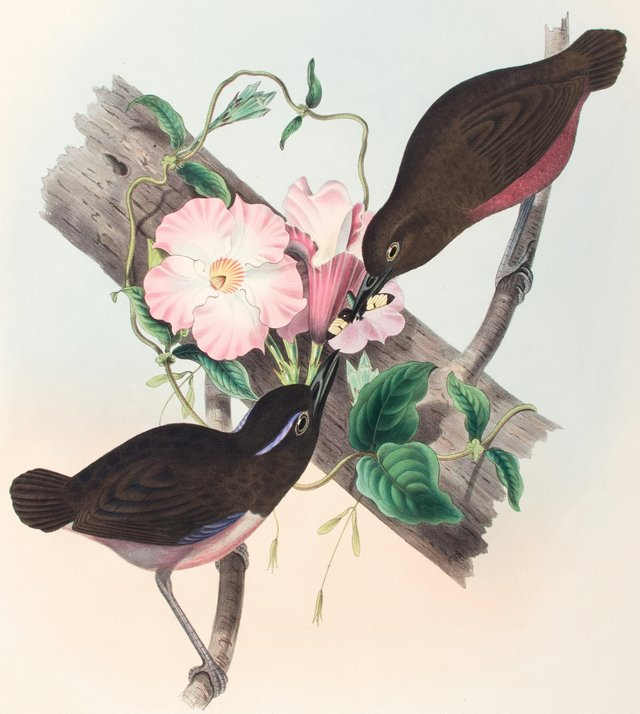 Graceful Pittas by John Gould, C. 1875