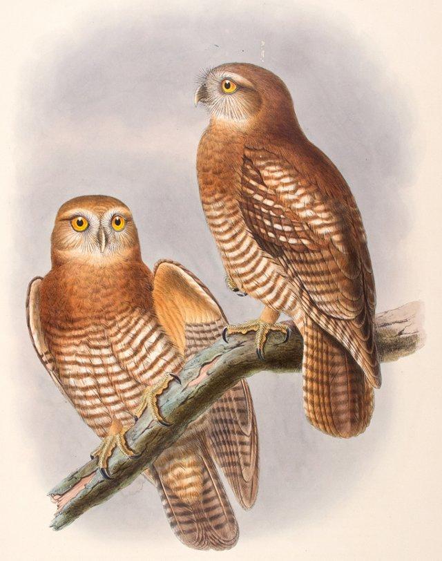 Tanimbar Hawk-Owls by Gould, C. 1875