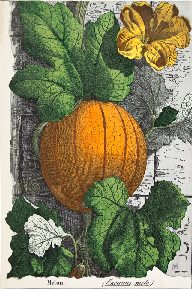 Hand-Colored Melon, 1857