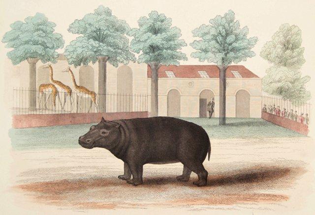 Hand-Colored Hippopotamus, C. 1930