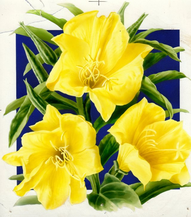 Evening Primrose Watercolor, C. 1935