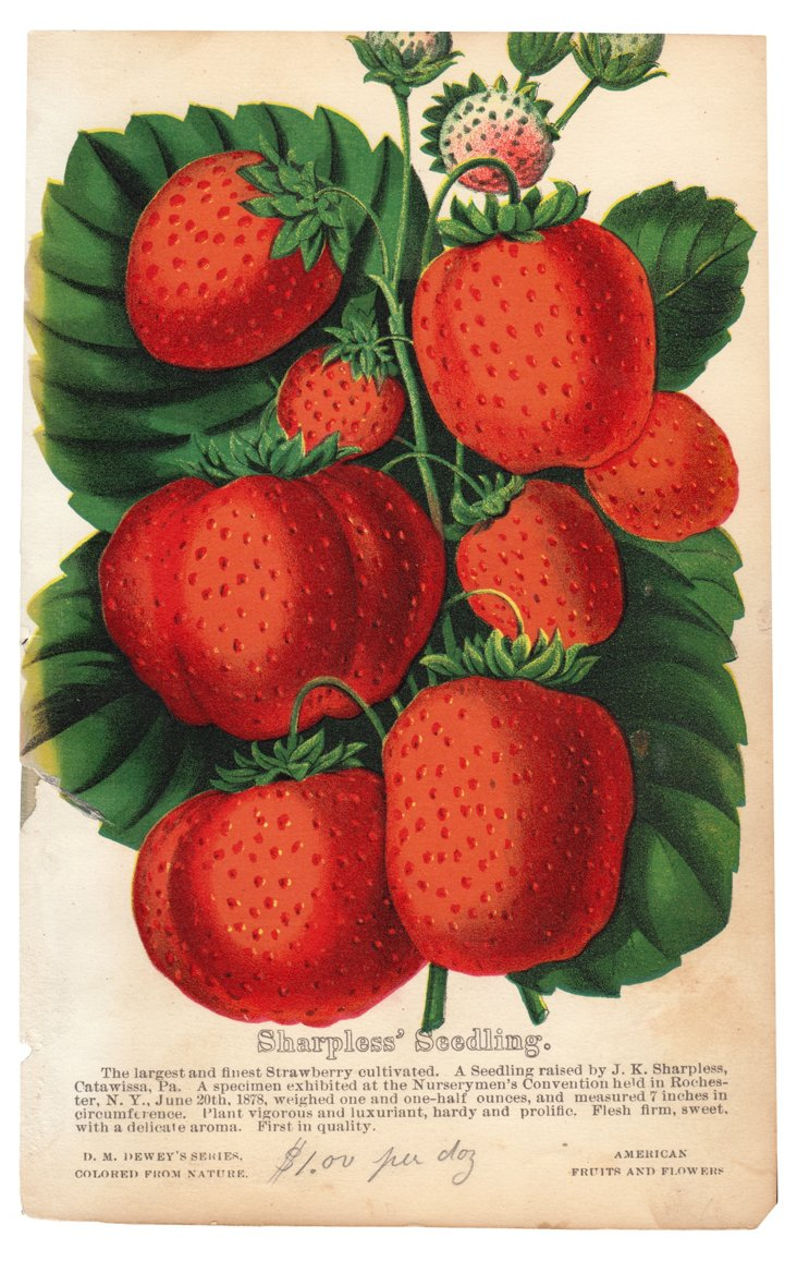 Hand-Colored Strawberry Lithograph, 1878
