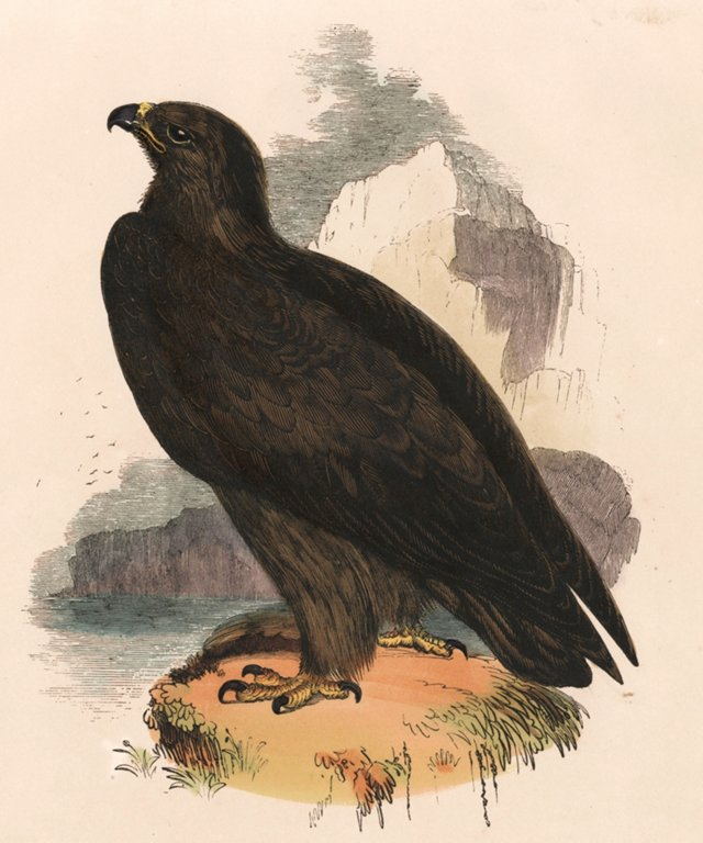 Hand-Colored Golden Eagle, 1843