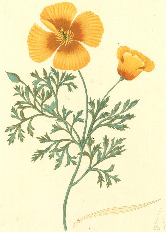 California Yellow Poppy Engraving, 1831