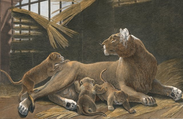 Hand-Colored Lioness w/ Cubs, 1808