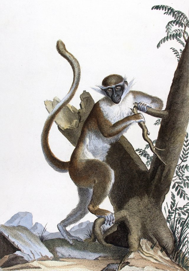 Hand-Colored Monkey Engraving, 1808
