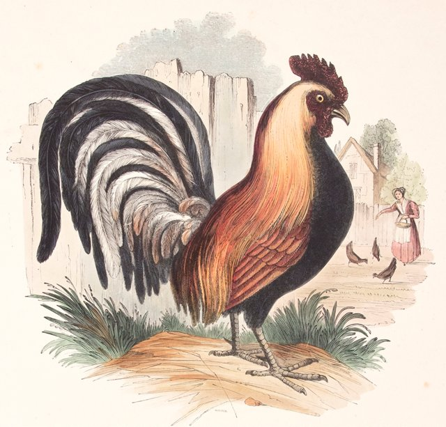 Hand-Colored Rooster Engraving, 1843