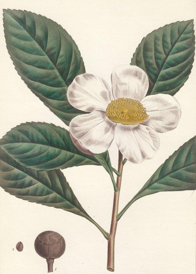 Hand-Colored Franklinia, 1819