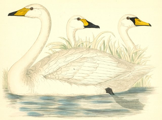 Hand-Colored Swan Engraving, 1855