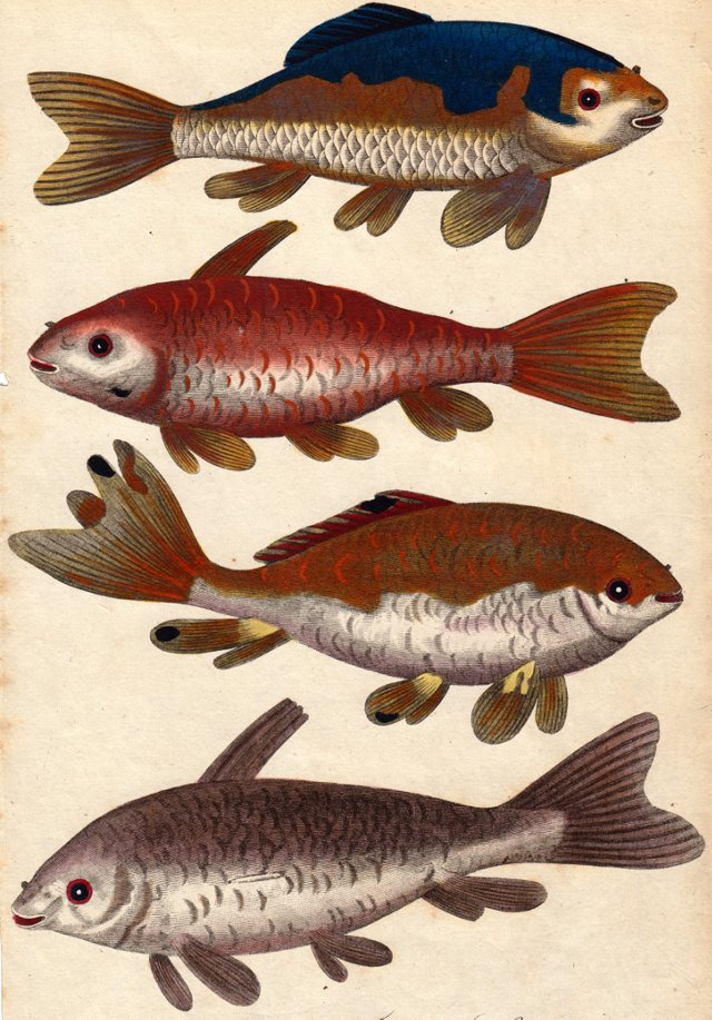 Hand-Colored Goldfish Engraving, C. 1797