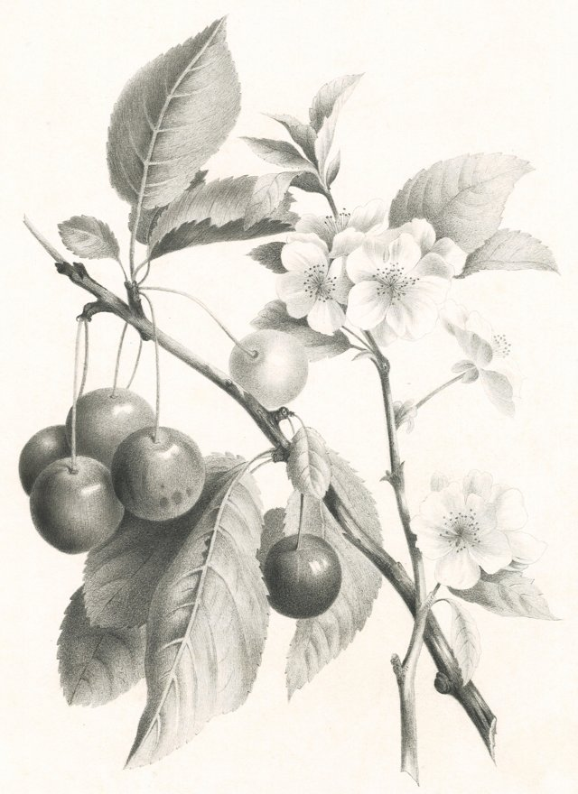 Hand-Drawn Cherries & Blossoms, C. 1830