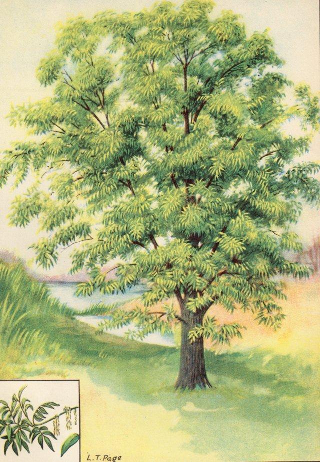 Pecan Tree, C. 1927
