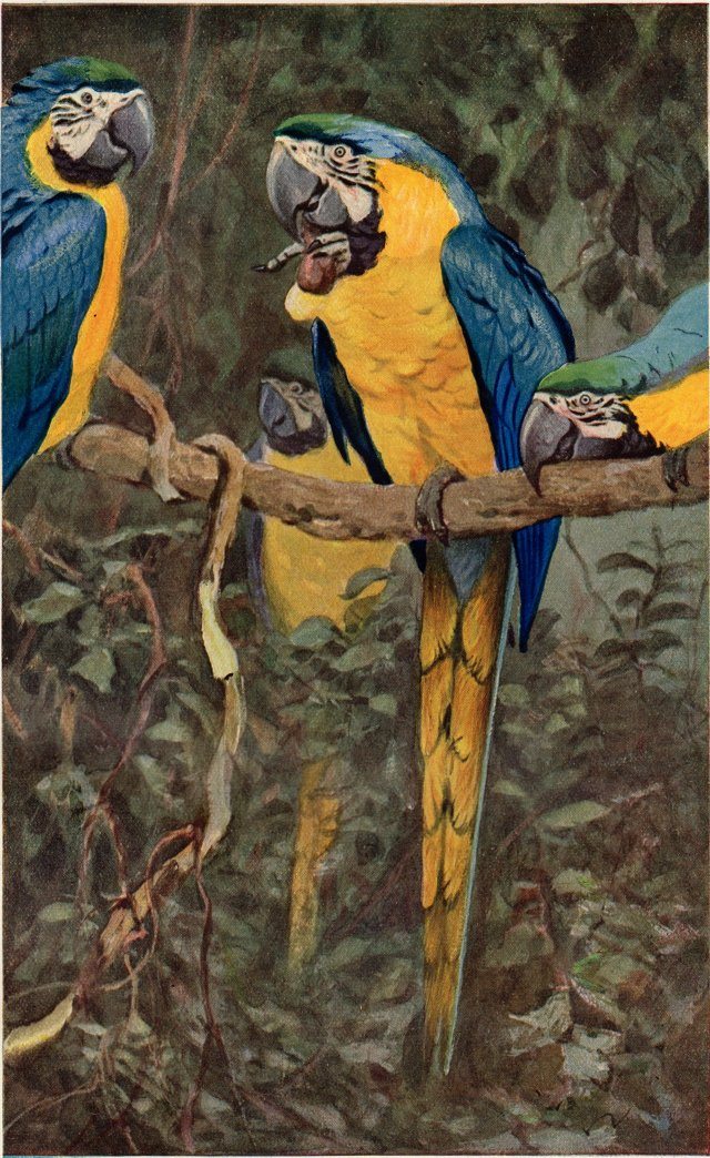 Blue-and-Yellow Macaw, 1910