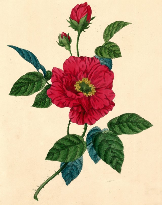 Hand-Colored Rose Lithograph, C. 1835