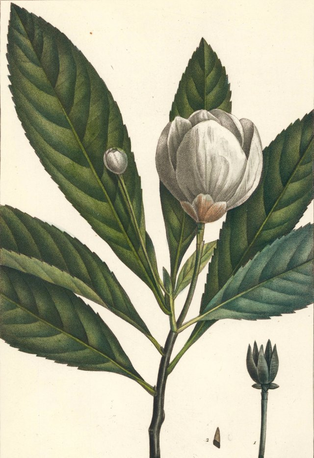 Hand-Colored Holly Bay Blossom, 1819