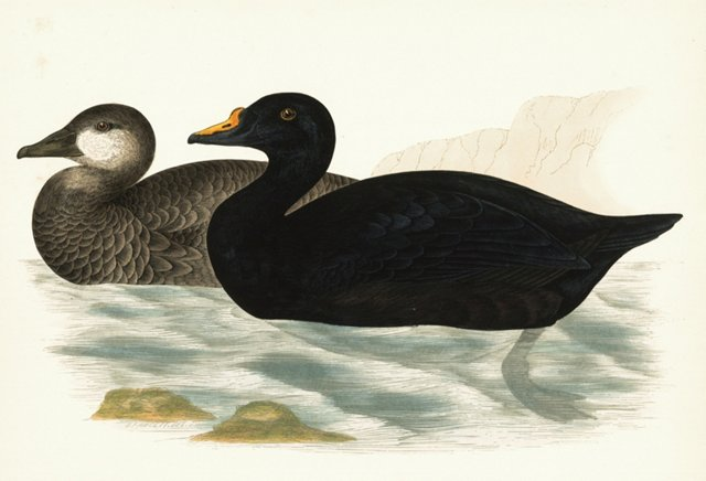 Hand-Colored Common Scoters, 1855