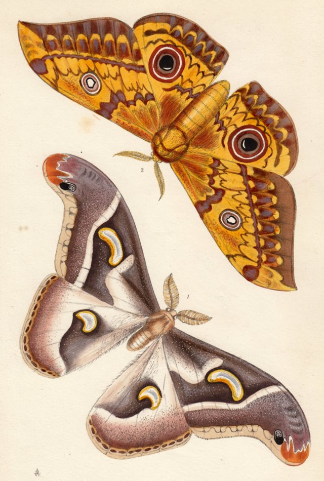 African Butterfly Lithograph, C. 1850