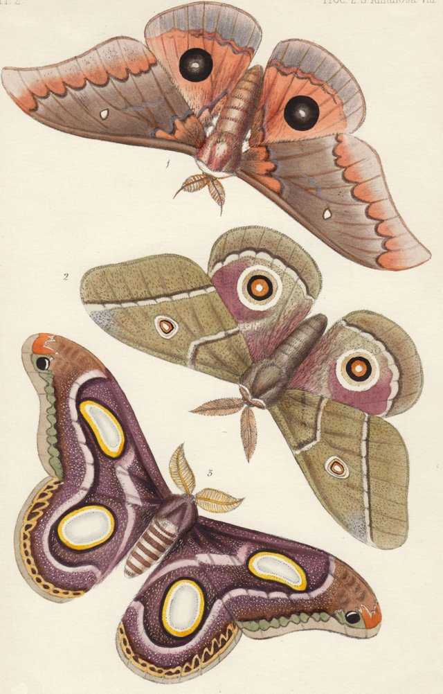 African  Butterfly Lithograph, C. 1848
