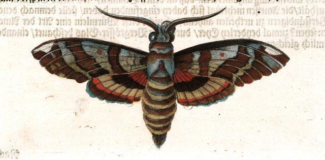 Clarice Moth, C. 1700