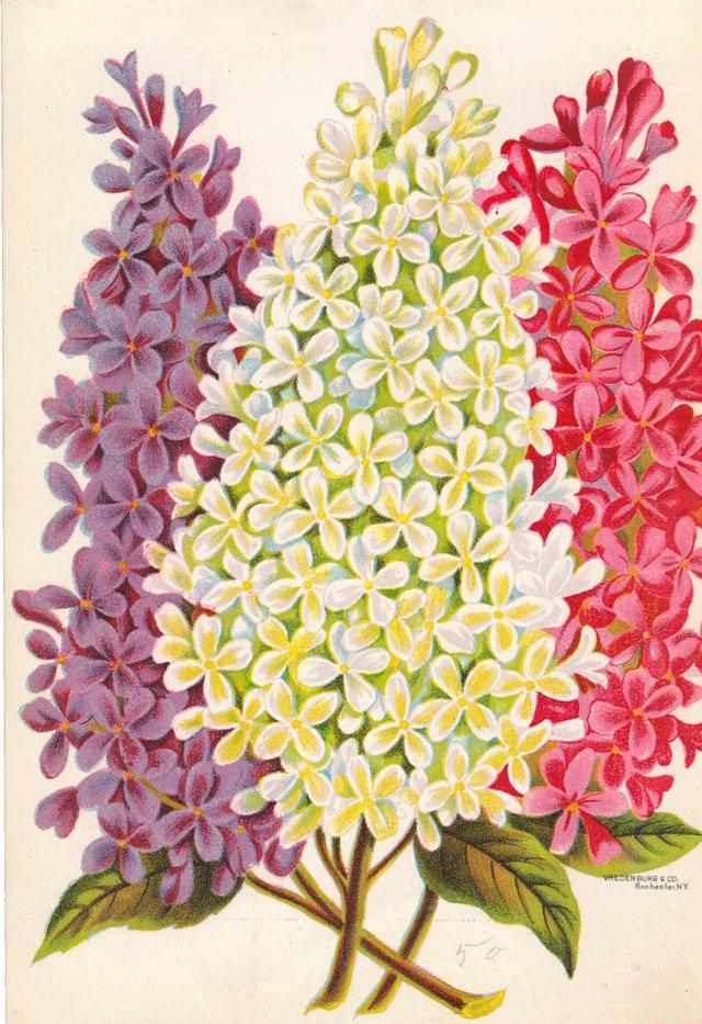 Lilac Lithograph, C. 1920
