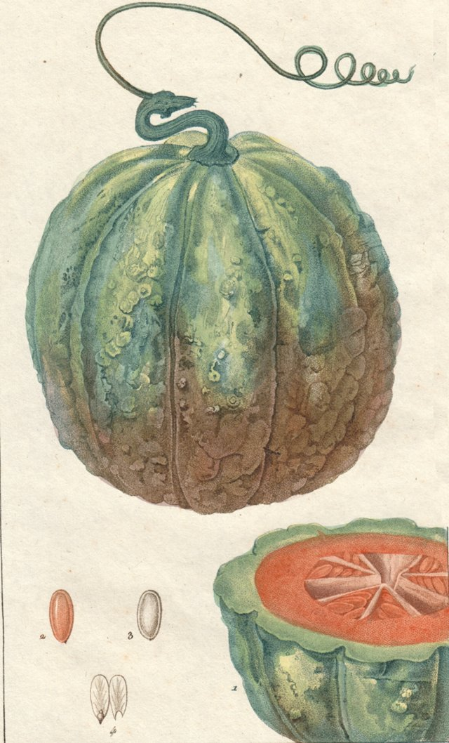 Hand-Colored Melon Engraving,  C.1815