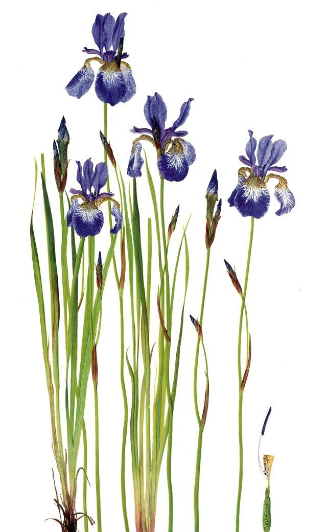 Swedish Iris Lithograph