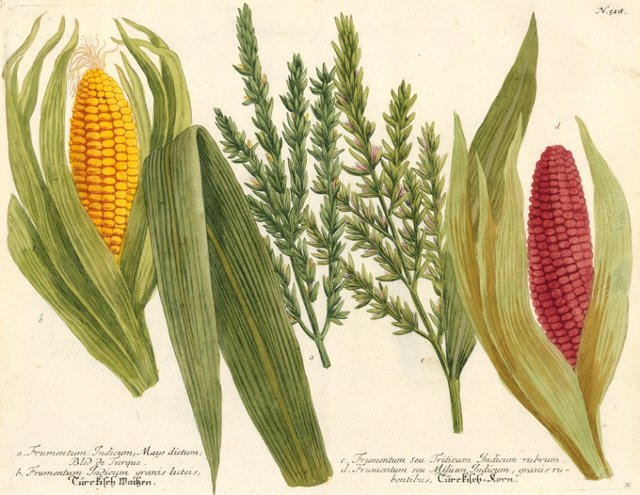 Indian Corn by Johann Weinmann, C. 1735