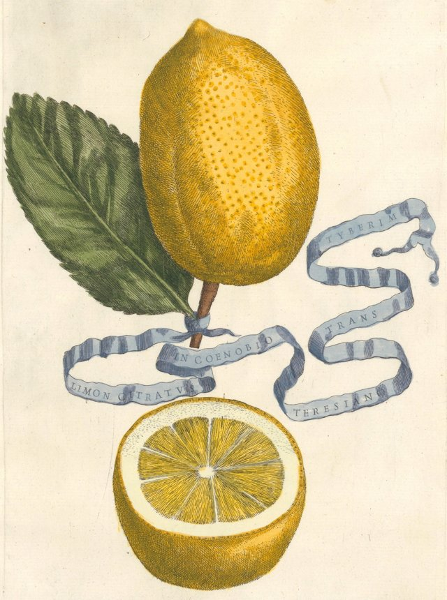 Hand-Colored Lemon Engraving,  1646