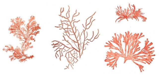 Orange Seaweed Lithographs, 1856, S/3