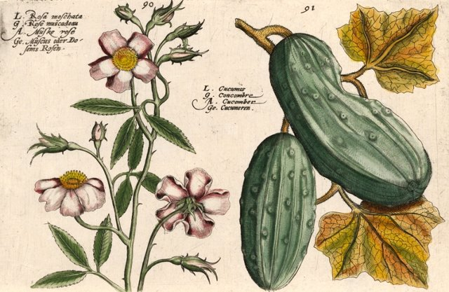Hand-Colored Cucumber Engraving, C. 1615