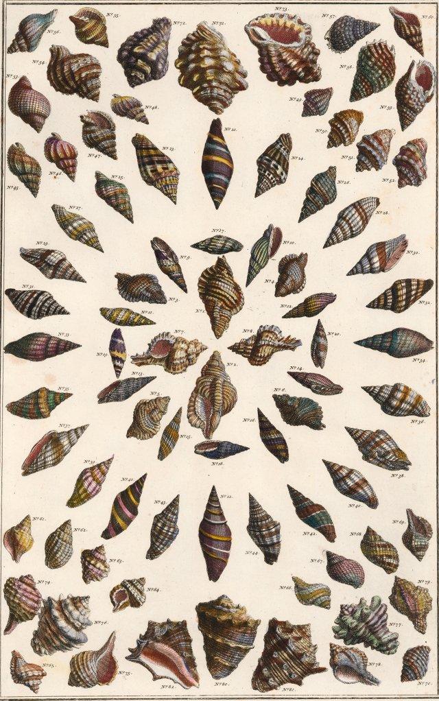 Hand-Colored Seashells by Seba, 1758