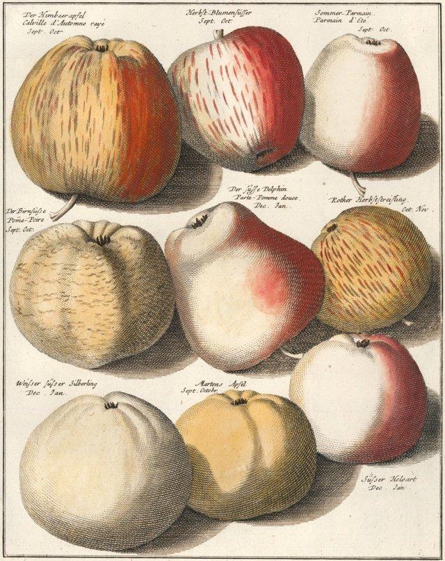 18th-C. Apple Engraving