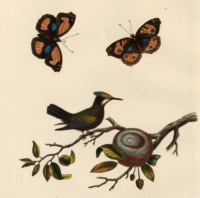 Crested Hummingbird & Nest, C. 1760