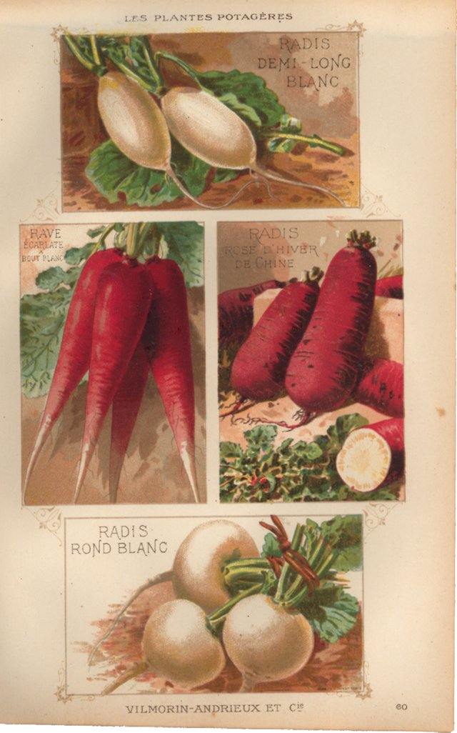 French Radish Lithograph, 1925