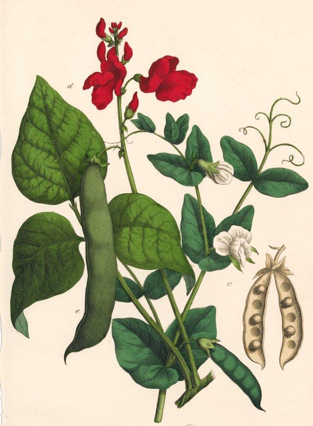 Peapod & Fava Bean with Blossom, 1857