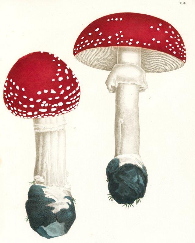 Hallucinogenic Agaric Mushrooms, 1864
