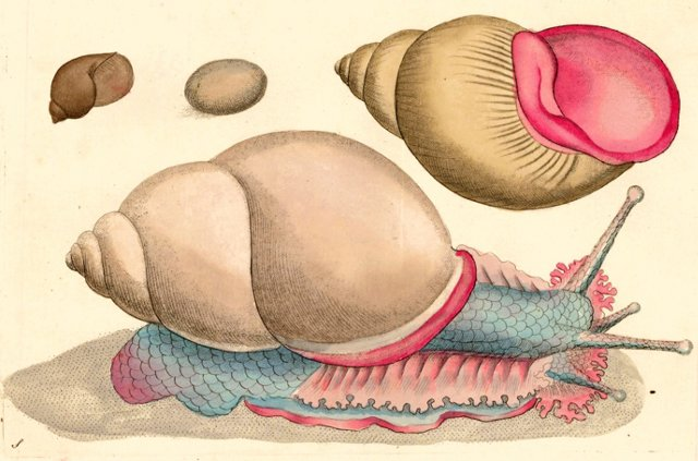 Hand-Colored Pink Sea Snail, 1790