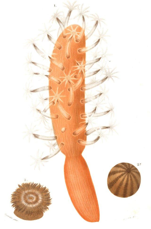 Orange Finger Coral, 1841