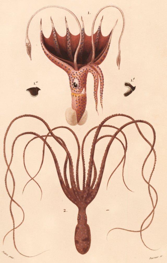 Octopus Engraving, 1841