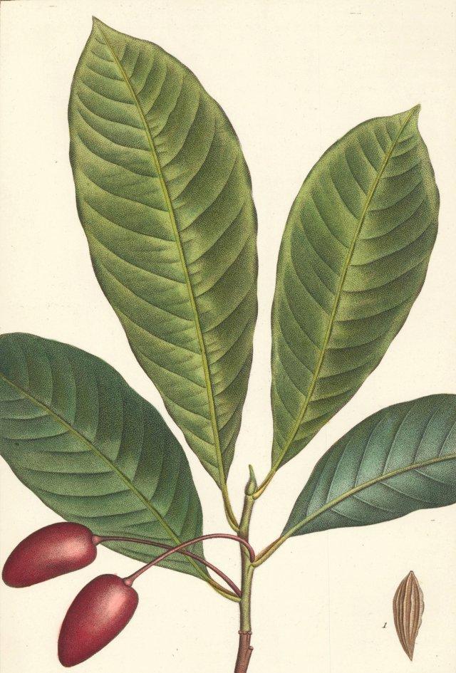 Hand-Colored Sour Tupelo, 1819