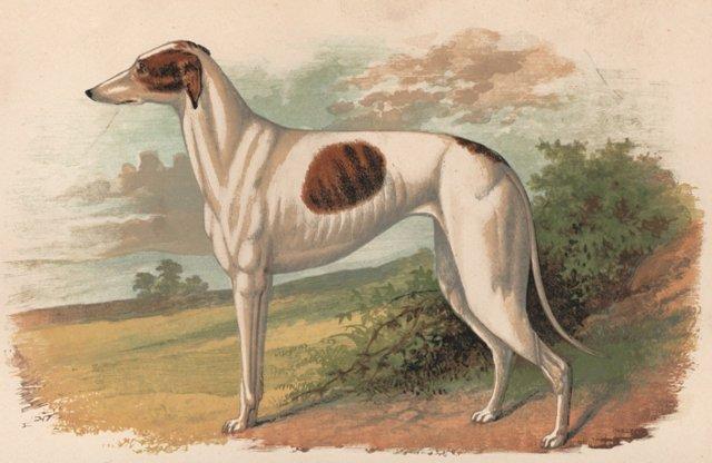 Greyhound Chromolithograph, 1897