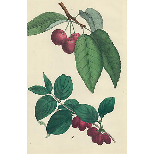 Hand-Colored Cherries, C. 1860