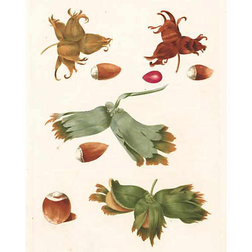 Hazelnuts by George Brookshaw, 1817