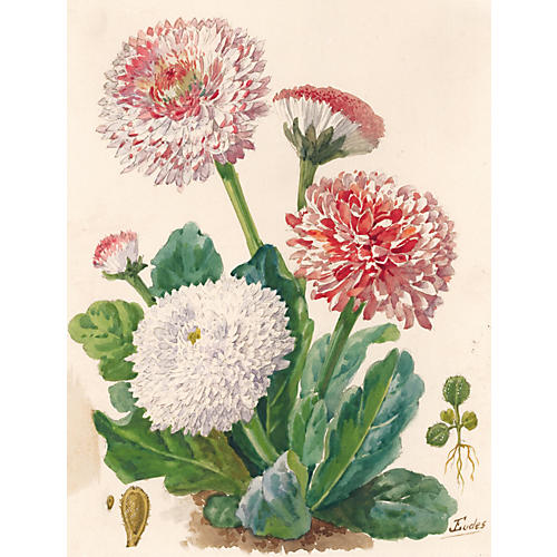 Pomponette Daisy Watercolor, C. 1900