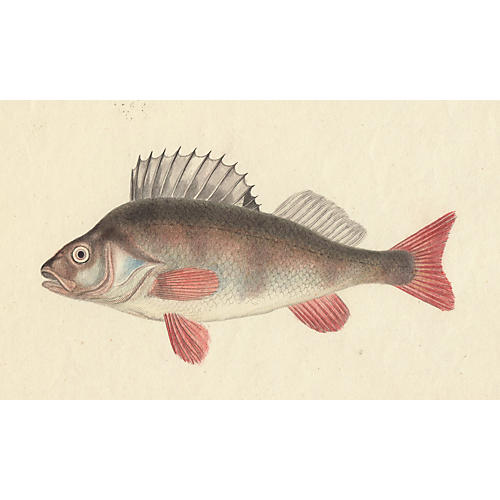 19th-C. Hand-Colored Fish Engraving