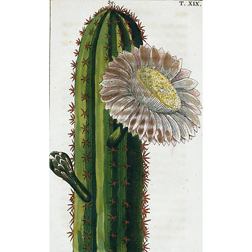 Flowering Cactus Engraving, C. 1800