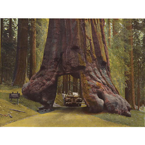Tunnel Tree, Yosemite National Park,1943
